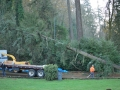 Large pine tree removal service
