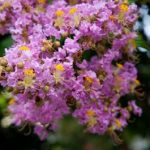 How To Properly Prune A Crape Myrtle