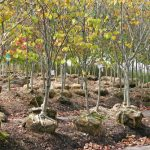 Tips to Planting a B&B Tree