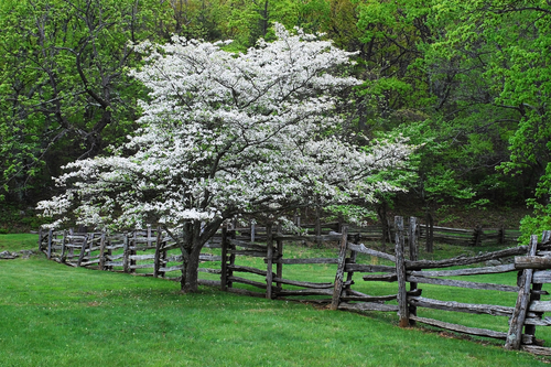 Our Favorite Varieties Of Dogwood Mr Tree Inc