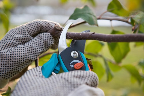 When Should I Begin Pruning My Trees?