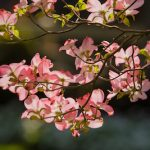 How to Help Your Dogwood Tree Flourish