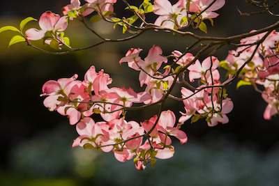 How To Help Your Dogwood Tree Flourish Mr Tree Inc