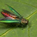 Get Prepared as the Emerald Ash Borer is Likely Headed This Way