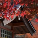 The Maple Tree Varieties You Can Add to Your Property