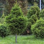 Multiple Dwarf Evergreen Trees Growing In a Yard - Dwarf Evergreen Trees Blog