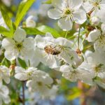 5 Trees that Attract Honeybees