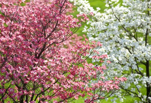 3 Disease Resistant Dogwood Trees Popular In The Northwest And How