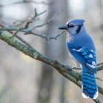 How to Attract Cardinals and Blue Jays to Your Yard_blue jay