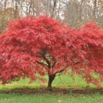 Our Favorite Ornamental Trees in Oregon