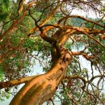 5 Native Pacific Northwest Trees for Your Yard - Pacific madrone