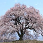 5 Trees with Special Meaning - cherry blossom