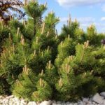 Short Pine Trees that Will Look Great in Your Yard - mugo pine