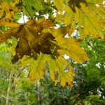 mr-tree-7-common-trees-youll-see-when-hiking-in-oregon-bigleaf-maple