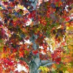 mr-tree-5-trees-with-small-root-systems-trident-maple