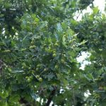 mr-tree-5-white-oak-tree-facts-that-might-surprise-you