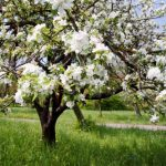 mr-tree-when-can-i-expect-to-see-fruit-tree-blossoms-in-spring