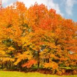 mr-tree-5-best-fast-growing-shade-trees-to-keep-you-cool-in-summer-northern-red-oak
