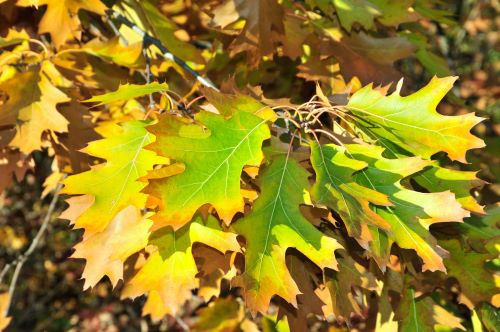 mr-tree-5-best-oak-trees-for-your-yard-pin-oak