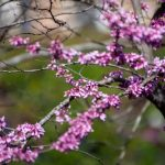 mr-tree-7-more-than-just-decorative-trees-western-redbud
