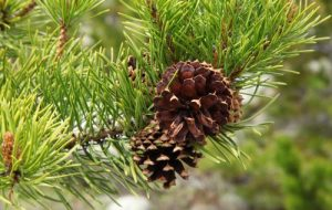 mr-tree-which-trees-fall-under-the-pinus-tree-genus-lodgepole-pine