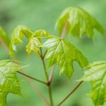 mr-tree-5-tips-for-caring-for-a-young-maple-tree