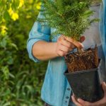 mr-tree-tips-for-planting-spruce-trees