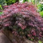 mr-tree-7-common-portland-trees-to-add-to-your-yard-this-summer-laceleaf-japanese-maple