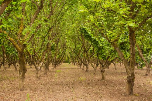 mr-tree-7-facts-about-hazelnut-trees-in-oregon-filbert-trees