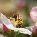 mr-tree-how-to-attract-honey-bees-to-your-yard-cherry-blossom