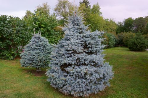 mr-tree-which-pine-trees-are-blue-colored-blue-spruce