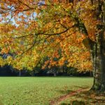 mr-tree-choose-fast-growing-oak-trees-to-dominate-your-yard-northern-red-oak