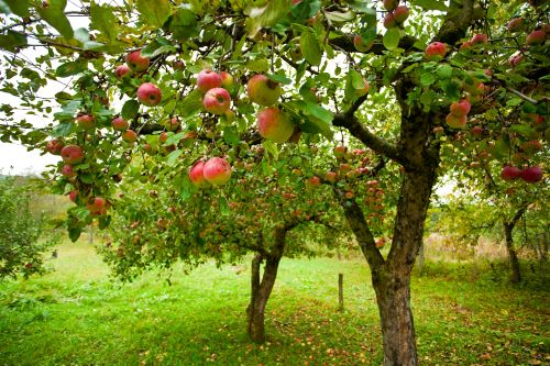 mr-tree-how-to-take-the-best-care-of-apple-trees