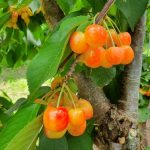 mr-tree-what-are-cultivar-trees-and-why-are-they-developed-rainier-cherry