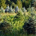 mr-tree-5-pine-scented-trees-to-plant-and-enjoy-all-year-balsam-noble-fraser-fir (2)
