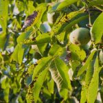 mr-tree-top-5-most-encountered-pacific-northwest-tree-problems-anthracnose