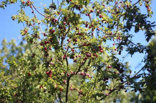 How to Prune a Plum Tree and Other Care Tips
