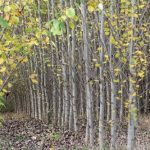 5-tall-trees-to-plant-in-your-oregon-yard-black-cottonwood