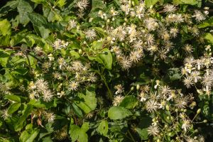 clear-your-yard-of-these-common-weeds-in-portland-oregon-old-mans-beard