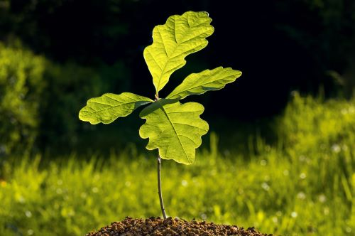 Plant and Care for Your Oak Tree Sapling