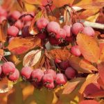 what-are-the-best-trees-to-plant-to-prevent-erosion-pacific-crabapple