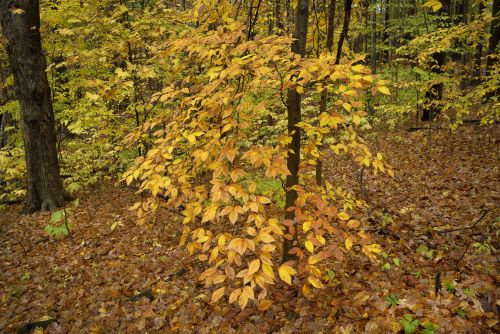 what-trees-grow-well-in-full-shade-american-beech