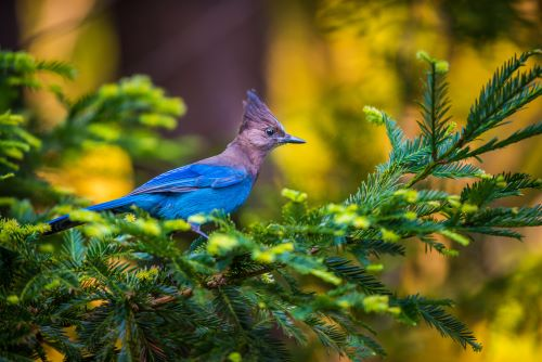 mr-tree-5-birds-youll-commonly-find-in-your-portland-oregon-trees-stellers-jay