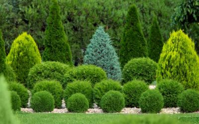 Care for Your Arborvitae All Year