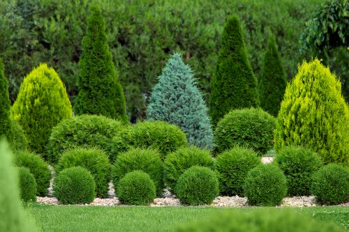 care-for-your-arborvitae-all-year-with-arborvitae-trimming