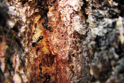 How to Get Rid of Carpenter Ants in a Tree