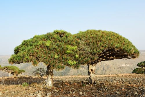 mr-tree-5-weird-trees-that-will-spice-up-your-curb-appeal-dragons-blood