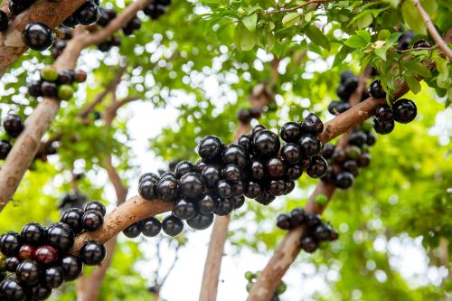 mr-tree-5-weird-trees-that-will-spice-up-your-curb-appeal-jaboticaba