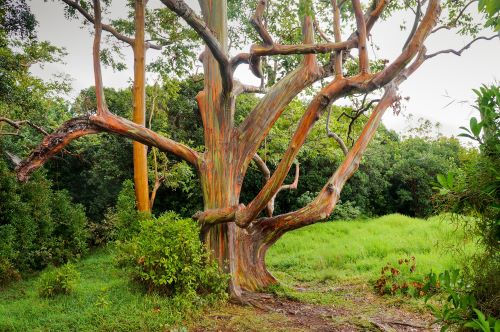 mr-tree-5-weird-trees-that-will-spice-up-your-curb-appeal-rainbow-eucalyptus5
