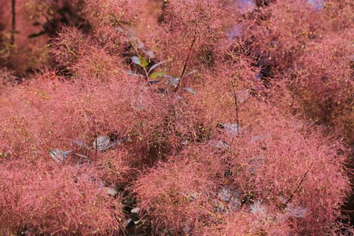 mr-tree-5-weird-trees-that-will-spice-up-your-curb-appeal-smoke-tree